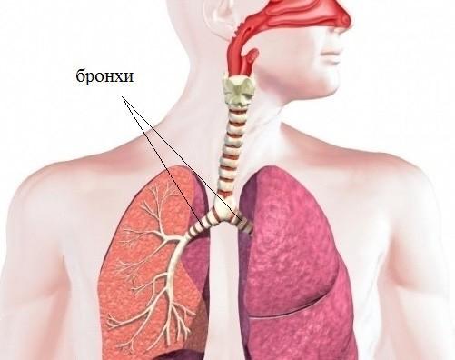 Анатомия где находятся бронхи thumbnail