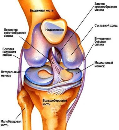 Строене и функции коленного сустава доброкачественные опухоли костей и суставов