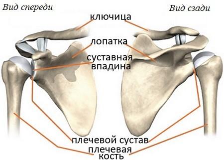 Плечевой сустав анатомия человека видео плечевой сустав фото на русском языке