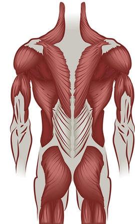 Эндокринология мышечного роста